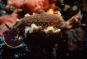 041a Glossodoris copia.jpg