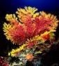 16 Paramuricea bicolore M.jpg