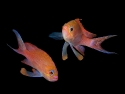 Anthias_coppia_M_.jpg