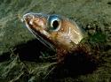Echelus myrus testa.jpg