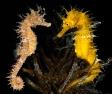 Hippocampus guttulatus giallo M coppia.jpg