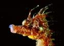 Hippocampus guttulatus testa 2 M.jpg