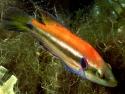 Symphodus ocellatus nido 3 M.jpg